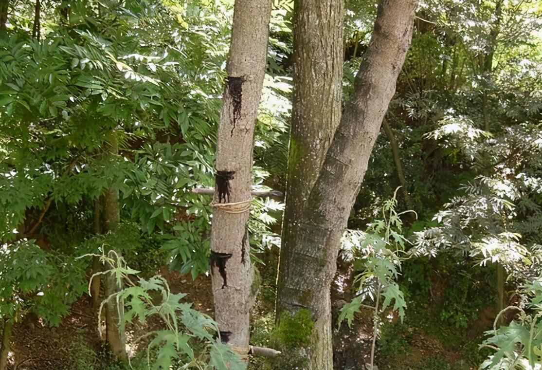 """漆树是公认的""""咬人树"""":若没有亲身经历过,不会知道它有多恐怖"""