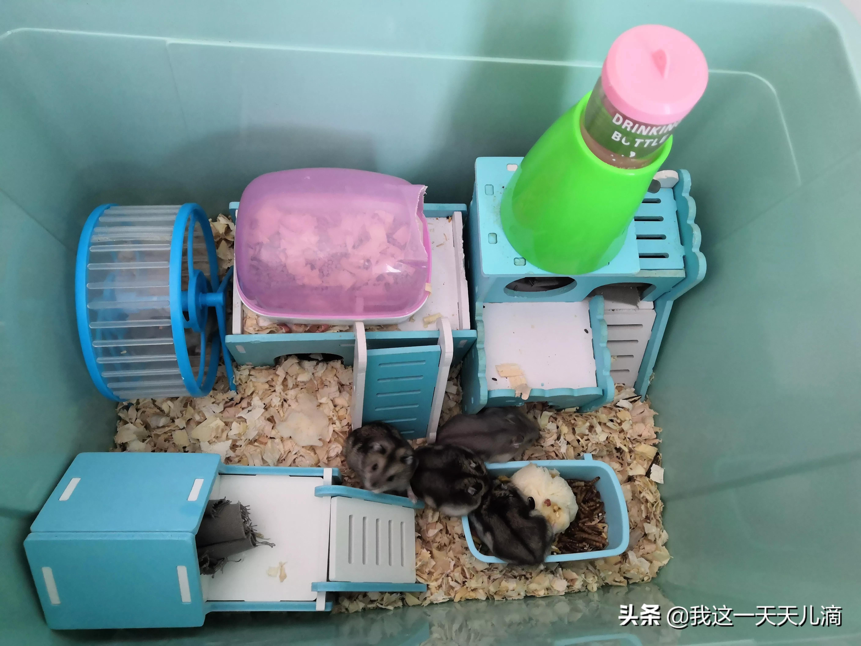 仓鼠主要吃什么?仓鼠饲养必须了解仓鼠饮食习惯