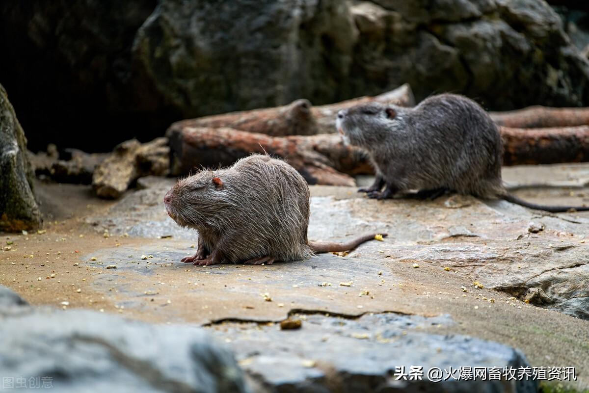 海狸鼠如何管理?海狸鼠常见疾病防治方法是什么?