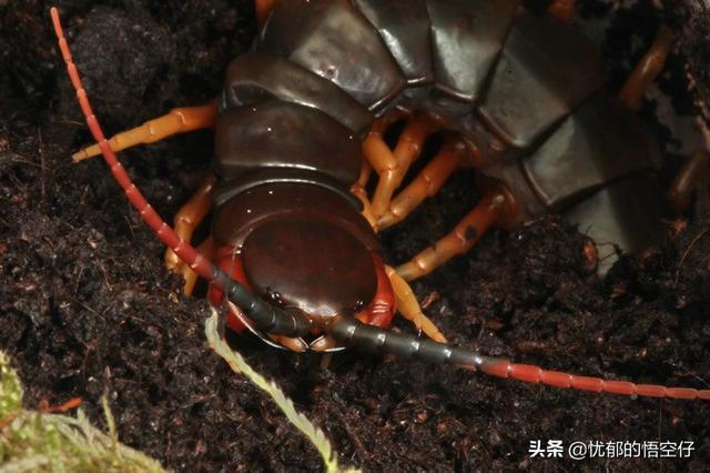 加拉帕格斯巨人蜈蚣(已知蜈蚣中体长排名第一的蜈蚣)